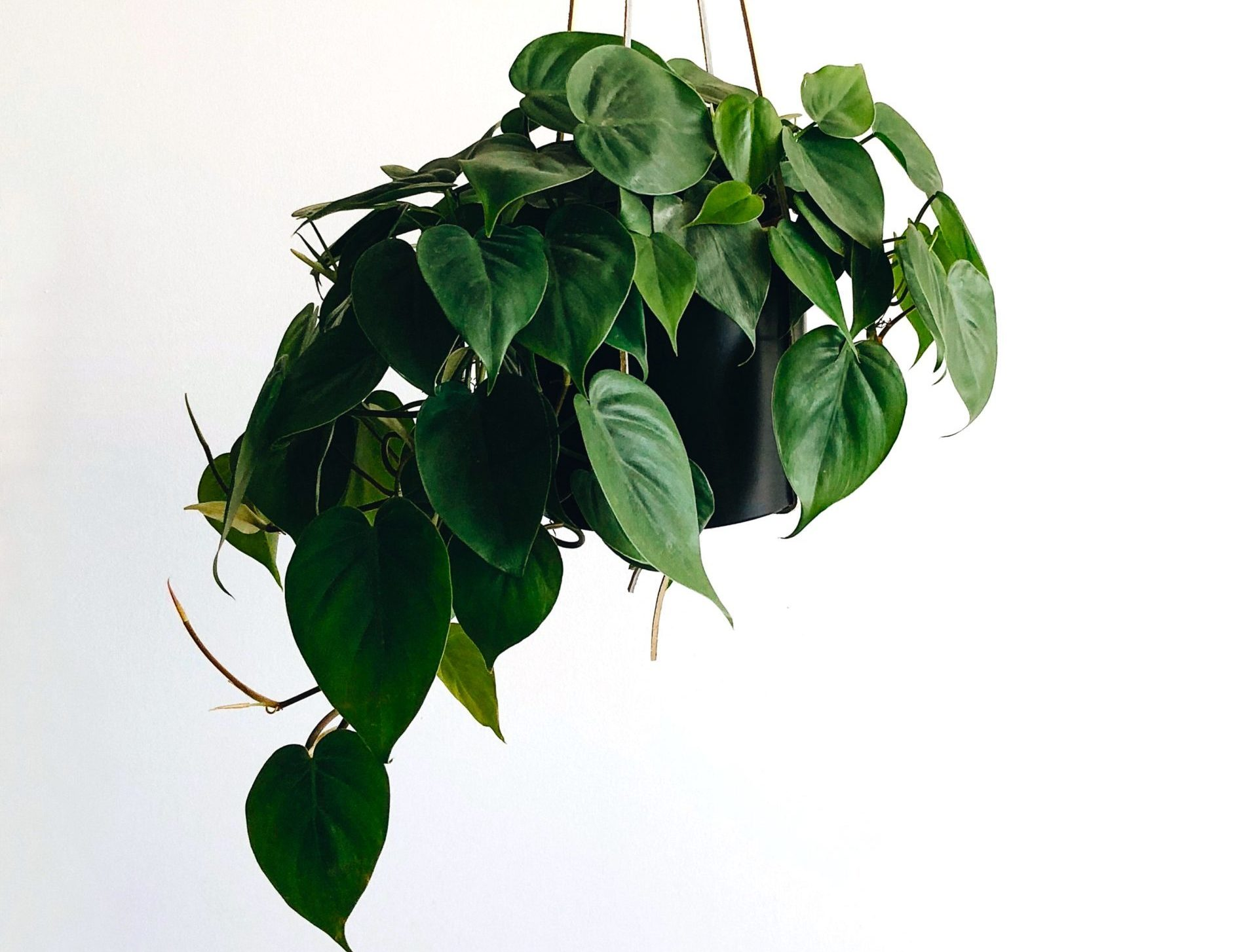 evolve refresh your space pothos houseplant